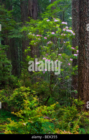 Wild rhododendrons bloom in Redwood tree forest, Del Norte Coast Redwood State Park, California
