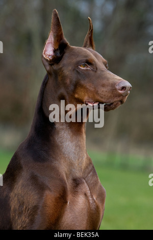 Close-up of Doberman Pinscher / Pincher / Dobermann (Canis lupus familiaris) in garden - Stock Photo