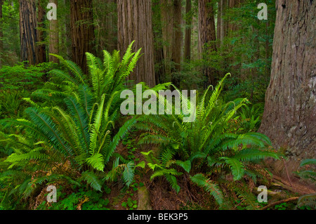 Ferns and redwood trees in forest at Stout Grove, Jedediah Smith Redwoods State Park, California - Stock Photo