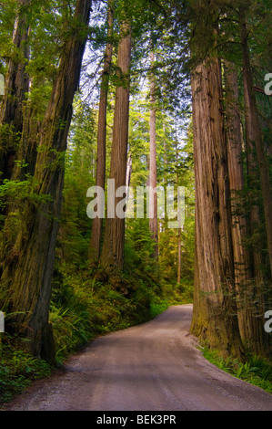 Sunlight through redwood trees in forest, Howland Hill road, Jedediah Smith Redwoods State Park, California - Stock Photo