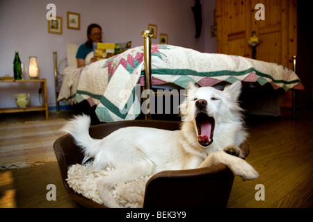 Woman reading in bed and sleepy white mongrel dog yawning before going to sleep in basket in bedroom chamber of - Stock Photo