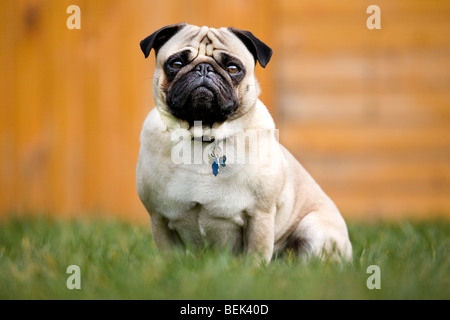 Portrait of Chinese pug / Dutch mastiff dog sitting in garden - Stock Photo