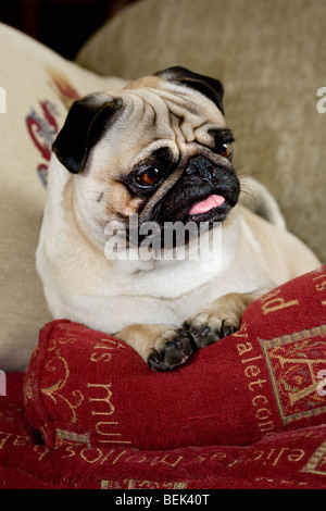 Portrait of Chinese pug / Dutch mastiff dog sitting in living room - Stock Photo