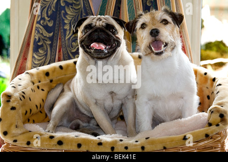 Portrait of Chinese pug / Dutch mastiff dog and Jack Russell terrier sitting in basket and Jack Russell terrier - Stock Photo