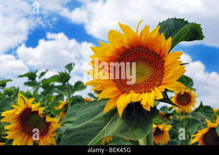 Sunflowers on a background of the cloudy blue sky - Stock Photo