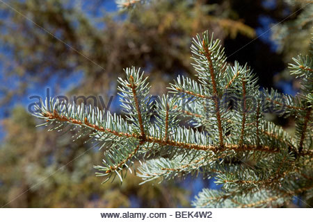 Colorado Blue Spruce Picea pungens close-up needles - Stock Photo