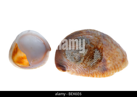 American slipper limpet (Crepidula fornicata), Belgium