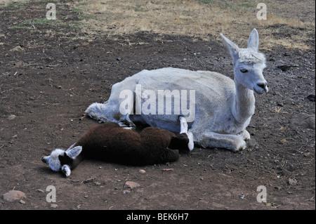 ALPACA CALF AND MOTHER, TASMANIA, AUSTRALIA - Stock Photo