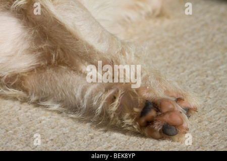 low level, close up view of legs of Jack Russell laying on the carpet - Stock Photo
