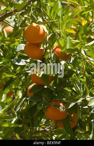 Orange tree Taroudant Morocco - Stock Photo