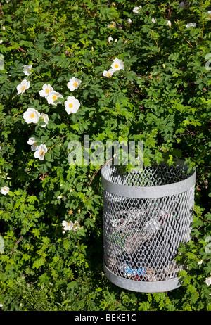 Trash bin in a rose bush - Stock Photo