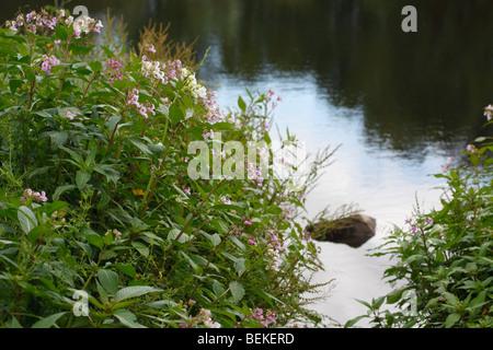 Indian balsam(impatiens glandulifera) growing on river bank