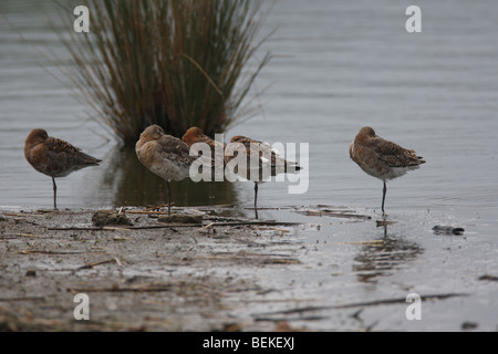 Black tailed godwits (Limosa limosa) resting on sand bank - Stock Photo