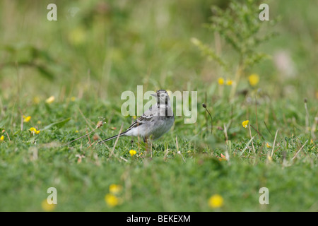 Pied wagtail (Motacilla alba) immature bird hunting in pastureland - Stock Photo