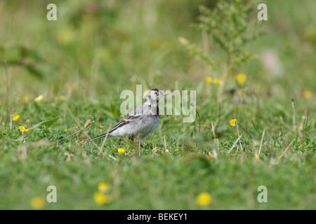 Pied wagtail (Motacilla alba) juvenile hunting in pastureland - Stock Photo