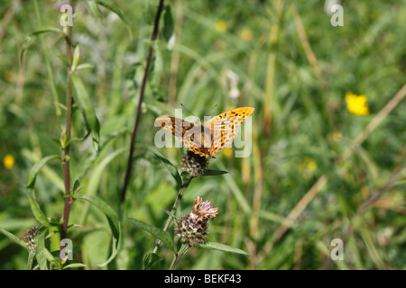 Dark green fritillary (Argynnis aglaja) male taking nectar - Stock Photo