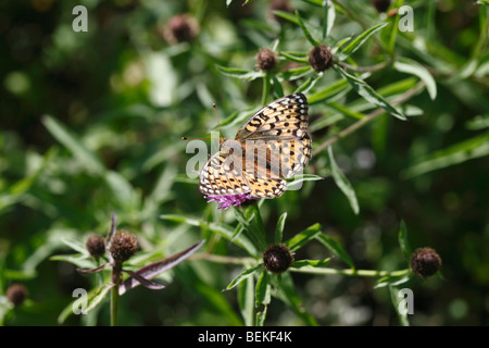 Dark green fritillary (Argynnis aglaja) female taking nectar from knapweed - Stock Photo