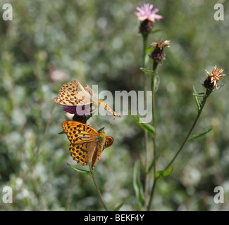 Dark green fritillary (Argynnis aglaja) pair in courtship flight - Stock Photo