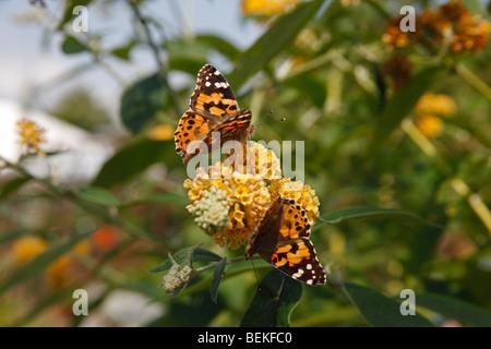 Painted lady (Vanessa cardui) taking nectar from buddliea - Stock Photo