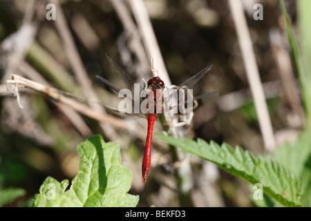 Ruddy darter (Sympetrum sanguineum) male at rest - Stock Photo