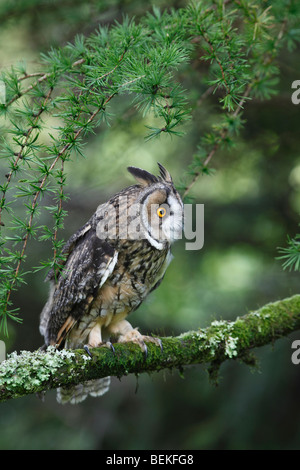 Long eared owl (Asio otus) perching in larch tree - Stock Photo