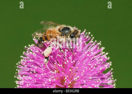 Honey Bee (Apis mellifera), adult feeding on Sensitive Briar (Mimosa nuttallii), Sinton, Corpus Christi, Coastal - Stock Photo