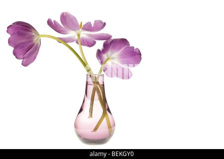 purple tulip isolated on white background - Stock Photo