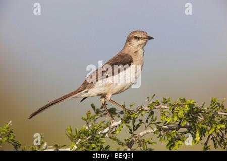 Northern Mockingbird (Mimus polyglottos),adult perched,Starr County, Rio Grande Valley, Texas, USA - Stock Photo