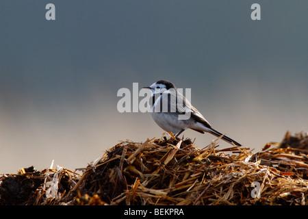 Pied Wagtail Motacilla alba backlit  on farm muck heap - Stock Photo