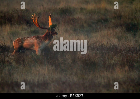 Fallow Deer Buck Dama dama in early morning sun - Stock Photo