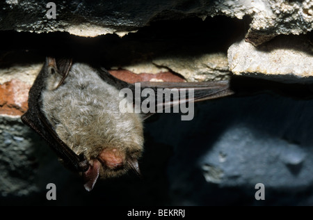 Daubenton's bat (Myotis daubentonii) hibernating in icehouse - Stock Photo