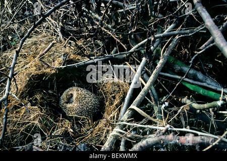 European hedgehog (Erinaceus europaeus) hibernating in nest amongst vegetation in garden - Stock Photo