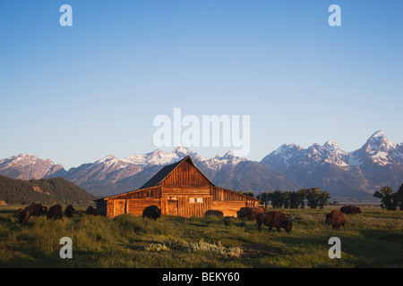 American Bison, Buffalo (Bison bison) herd in front of old wooden Barn and grand teton range,Grand Teton NP,Wyoming, - Stock Photo