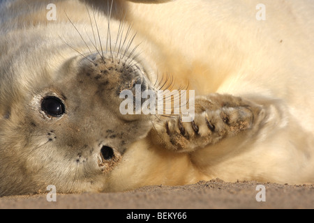 Playing young of Grey seal (Halichoerus grypus) on beach, UK - Stock Photo