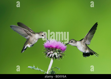 Black-chinned Hummingbird (Archilochus alexandri), females feeding on Texas thistle, Corpus Christi, Coastal Bend, - Stock Photo