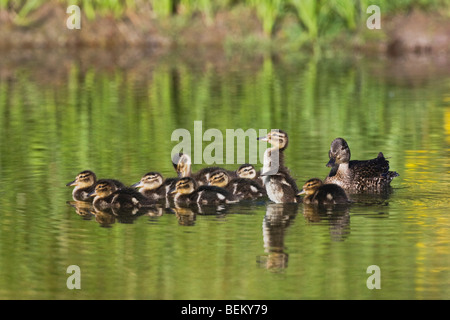 Blue-winged Teal (Anas discors), female with chicks, Grand Teton NP,Wyoming, USA - Stock Photo