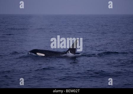 ORCA, KILLER WHALE BREATHING, MONTEREY BAY, CALIFORNIA, U.S.A. - Stock Photo