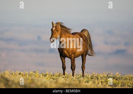 Mustang Horse (Equus caballus), adult, Pryor Mountain Wild Horse Range, Montana, USA - Stock Photo