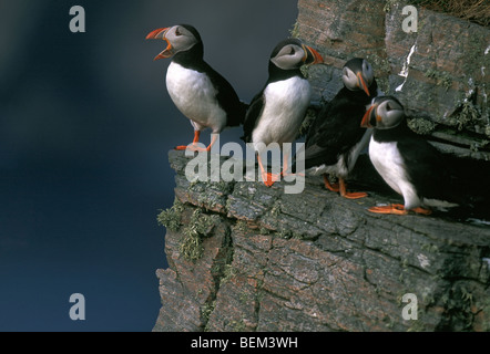 Atlantic Puffins (Fratercula arctica) perched on rock ledge in cliff face, Norway - Stock Photo
