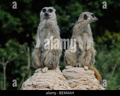 Two meerkats one looking one way one looking the other, different viewpoints. - Stock Photo