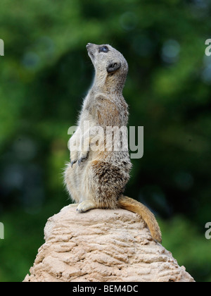 A meerkat looking upwards, things are looking up. - Stock Photo
