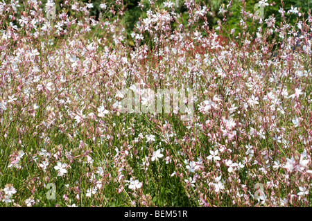 Gaura lindheimeri WHIRLING BUTTERFLIES - Stock Photo
