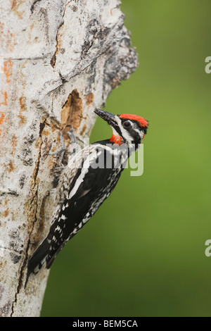 Red-naped Sapsucker Sphyrapicus nuchalis), adult with prey at nesting cavity in aspen tree, Rocky Mountain NP, Colorado - Stock Photo