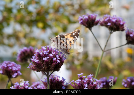 Painted lady butterfly feeding on verbena flower - Stock Photo