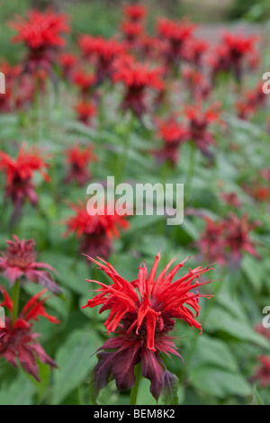 Wild Bergamot (Monarda Fistulosa) in Togakushi, Japan - Stock Photo
