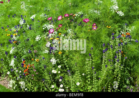 Cosmos bipinnatus SEA SHELLS, Ammi majus and Salvia viridis BLUE DENIM in flower border Stock Photo