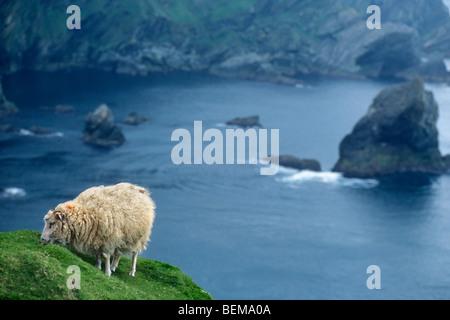 Sheep (Ovis aries) grazing near sea cliff's edge in Shetland, Scotland, UK - Stock Photo
