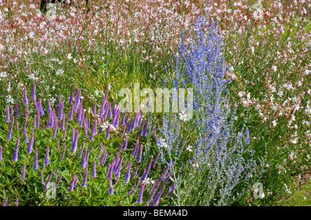 Veronicastrum ADORATION, Perovskia atriplicifolia LITTLE SPIRE and Gaura lindheimeri WHIRLING BUTTERFLIES - Stock Photo