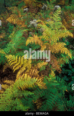 Common bracken (Pteridium aquilinum) in autumn colours in forest in the fall - Stock Photo