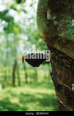 Para Rubber Tree (Hevea brasiliensis), being tapped to collect latex, Sri Lanka - Stock Photo